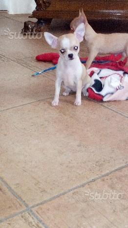 Chihuahua femmina Minitoy 70 gg