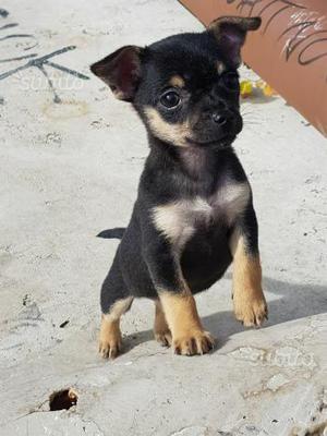 Chihuahua femmina pelo corto 60gg