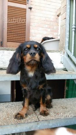 Cucciola cavalier king con pedigree ENCI