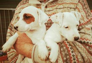 Cuccioli Jack Russel inglesi con pedigree