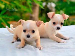 Cuccioli di chiwawa toy mini beige e bianco