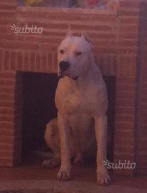 Cuccioli di dogo argentino di 3 mesi (2 maschi)