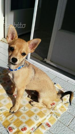 Cucciolo chihuahua pincher 5 mesi