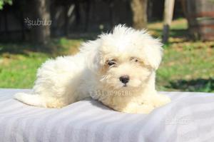 Cucciolo di Maltese in pronta consegna