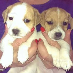 Disponibili cuccioli Jack Russell