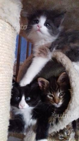 Gattini di Maine Coon