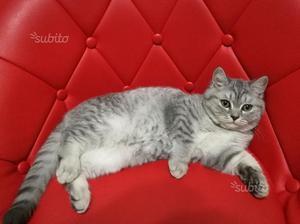 Gattino maschio scottish strite