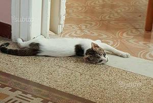 Gattino vaccinato e sterilizzato in adozione