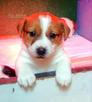 Jack Russell cuccioli pelo liscio alta genealogia