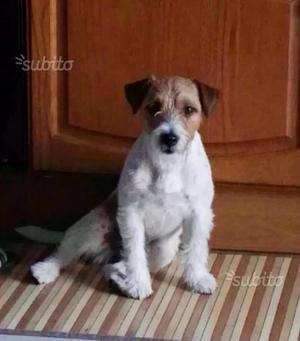 Jack russell terrier cuccioli maschi con pedigree