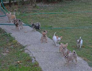 Strepitosi cuccioli chihuahua pelo corto e lungo