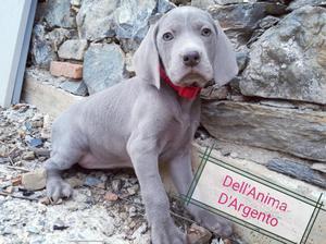 Weimaraner cuccioli con pedigree ?