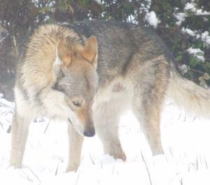 cuccioli di cane lupo cecoslovacco romagna