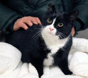gatta adulta bianco nera da adottare