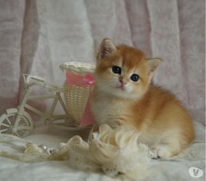 Cuccioli di British Shorthair Golden con occhi smeraldo