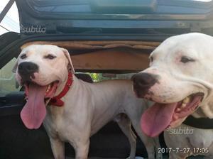 Adorabili cuccioli di Dogo Argentino