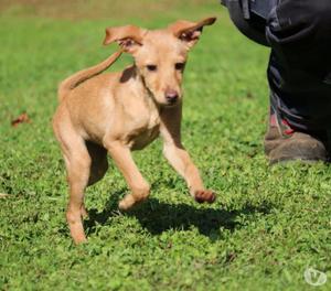 Beta cucciolo femmina 5 mesi taglia pinscher