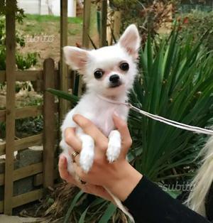 Chihuahua Pelo Lungo Bianco PEDIGREE