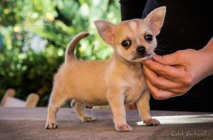 Chihuahua a pelo corto con pedigree