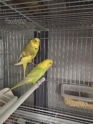 Cocorite coppia