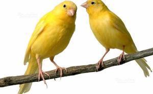 Coppia canarini