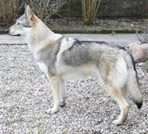 Cucciola di lupo cecoslovacco