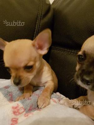 Cuccioli Chihuahua pelo corto