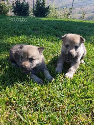 Cuccioli di Lupo Cecoslovacco con pedigree