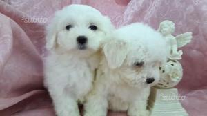Cuccioli di pura razza maltese