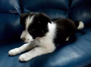 Cucciolo border collie con pedigree