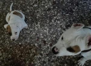 Cucciolo di American Staffordshire terrier
