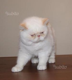 Gattina persiana Crem Point