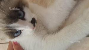 Gattino bianco coccoloso