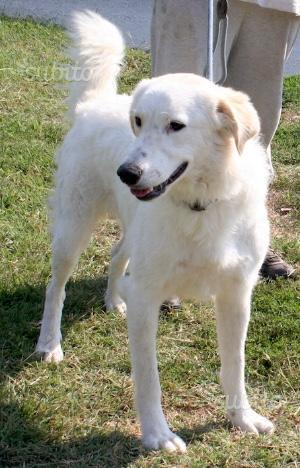 Molly, incrocio Labrador e Golden Retriever