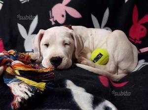 Nana, cucciola sorda di 2 mesi, dogo argentino