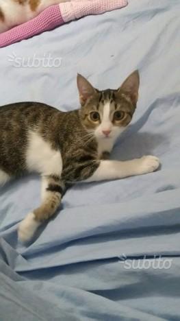 Piccola gattina bicolore 6 mesi adozione gratuita