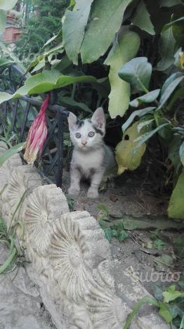 Regalo tenero gattino bianco