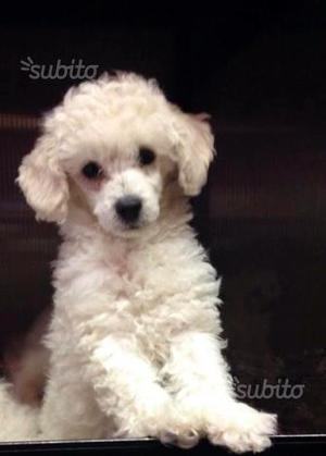 cuccioli di barboncino 2 mesi bianchi