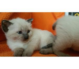 cuccioli gatti siamese thai seal point
