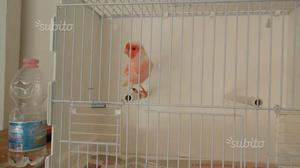 Canarino maschio rosso mosaico foi