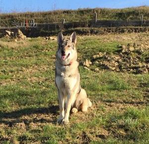 Cane lupo cecoslovacco cuccioli con pedigree