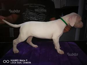 Cucciola Dogo Argentino
