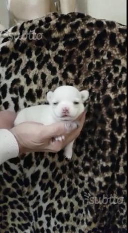 Cucciola di Chihuahua Bianco femmina a pelo corto
