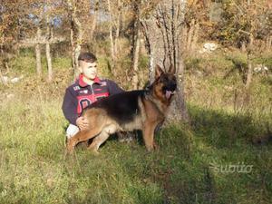 Cucciola di pastore tedesco a pelo lungo