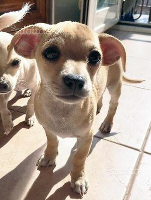Cucciolo di Chihuahua maschio pelo corto di 4 mesi