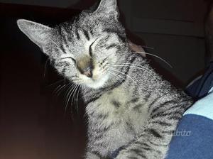 Gattino tigrato 5 mesi in adozione