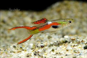 Endler piccoli pesci acqua dolce posot class for Pesci acqua dolce commestibili