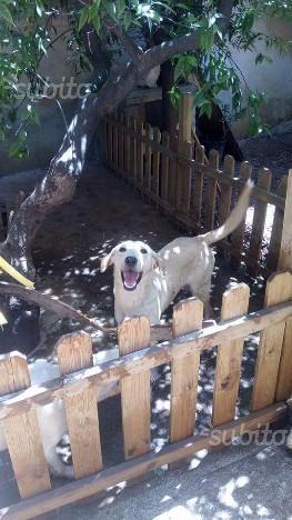 Sole,15mesi cucciola simil labrador