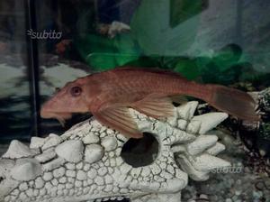 Pesce pulitore baryancistrus esemplare unico posot class for Pesce pulitore acqua dolce
