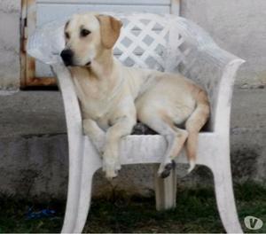 Cuccioli simil Labrador